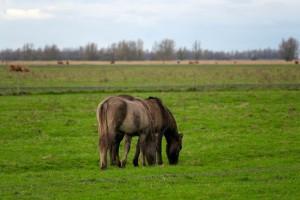 schotse hooglanders en de konikpaarden