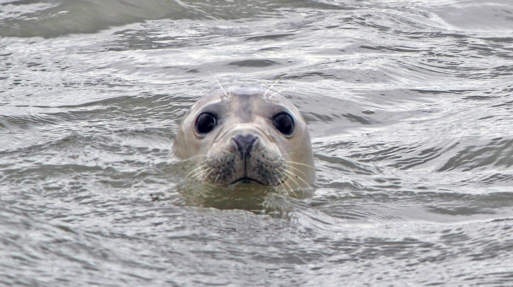 zieke zeehonden