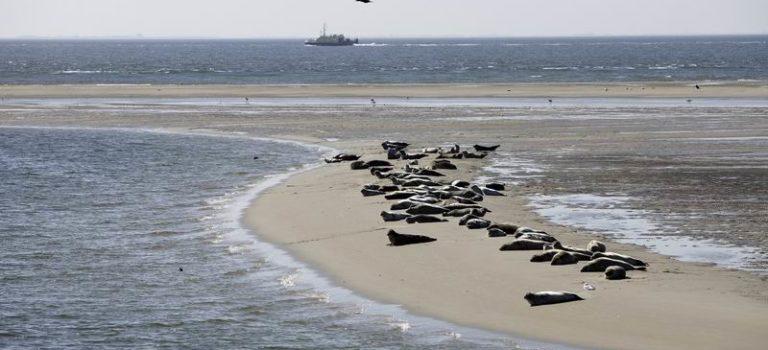 Zeehondenpopulatie in de Waddenzee