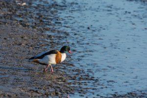 Vogels kijken in Friesland, NATIONAAL PARK LAUWERSMEER & WADDEN